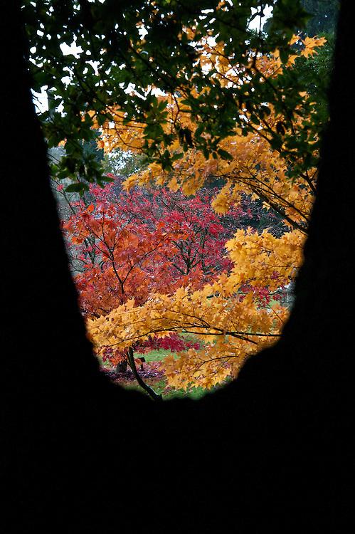 Japense maples: yellow-leaved Acer palmatum 'Ichigyoj' and orange-leaved Acer palmatum 'Osakazuki', end October.