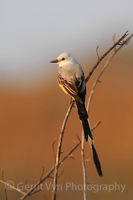 Adult Scissor-tailed Flycatcher (Tyrannus forficatus) in breeding plumage. Mustang Island, Texas. March.