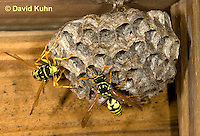 0621-1101  European Paper Wasp on Paper-like Nest, Invasive Species in North America, Polistes dominula (Polistes dominulus)  © David Kuhn/Dwight Kuhn Photography