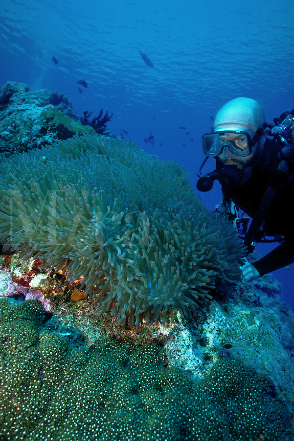 UNderwater view as a scuba diver takes a close view of a Magnificent anemone. Papua New Guinea.