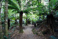 A Walk through the Tree Ferns of Bruny Island, Tasmania