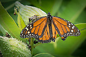 August 9, 2016 / Magic Wings Butterfly Conservatory / Shown: Monarch  / South Deerfield, MA / Shown: /  Photo by Bob Laramie