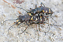 Mating Northern Dune Tiger Beetles {Cicindela hybrida} Julian Alps, Slovenia, July.