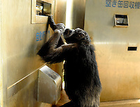 A chimpanzee inserts a ten yen coin into a drink vending machine. Chimpanzees in Tama Zoo in the western suberbs of Tokyo buy soft drinks from a vening machine. The zoo, which is seen as one of Japan's most inovative, has installed a vending machine. The Chimps are given a ten yen yen coind which they insert into a vending machine and are given a can of fruit or vegetable juice.  The chimps then put the embty can into the waste machine for recycling.