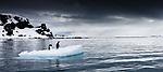 Gentoo penguins on an iceberg float, Antarctica