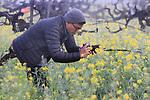 Mustards fields in Napa Valley, CA