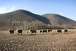 Farm Animals Cows/Cattle