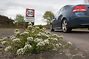 Danish Scurvy Grass (Cochlearia danica) growing along roadside. This salt tolerant (halophytic) plant originates from coastal regions and is able to grow in areas that recieve high levels of salt spray from the sea. This trait also allows the plant to survive along roadsides where salt levels are high from winter gritting. The leaves are high in Vitamin C, which used to make this brassica a popular snack for sailors wishing to avoid scurvy. Peak District National Park, Derbyshire, UK. May.