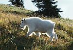 Mountain goat, Olympic National Park, Washington, USA