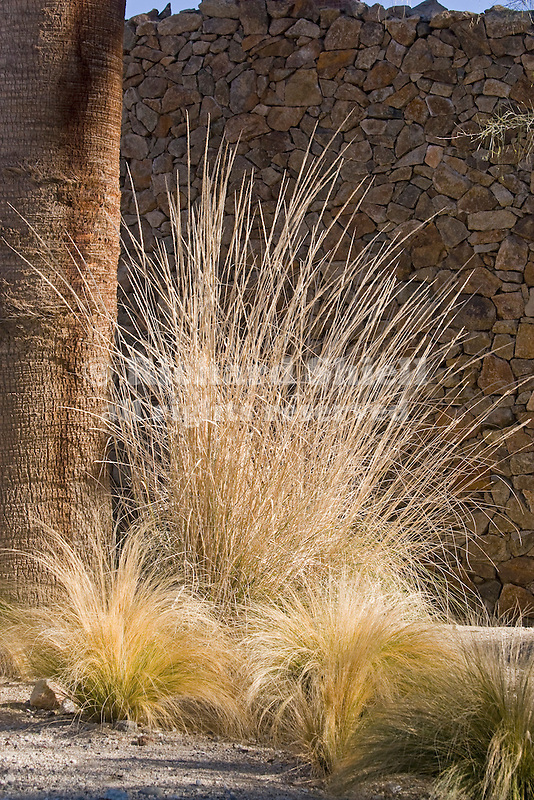 ORNAMENTAL GRASSES, PURPLE OR BUSH MUHLY, MUHLENBERGIA RIGIDA 'NASHVILLE', AND MEXICAN FEATHER GRASS, NASSELLA TENUISSIMA