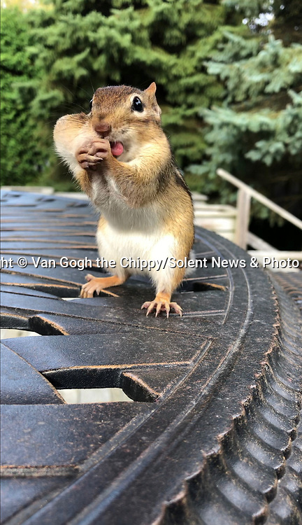 WITH VIDEO<br /> <br /> A greedy little chipmunk stuffed its face with nuts to save for later.  The ravenous rodent - known as Van Gogh - grabbed up to ten nuts at a time to stuff into its cheeks before scurrying off, storing them and rushing back for more.<br /> <br /> He was photographed by social media manager Ally Calmusky, 33, who often sees the chipmunk in her mother's backyard in Aurora, Ontario, Canada.  SEE OUR COPY FOR DETAILS.<br /> <br /> Please byline: Ally Calmusky/Van Gogh the Chippy/Solent News<br /> <br /> © Ally Calmusky/Van Gogh the Chippy/Solent News & Photo Agency<br /> UK +44 (0) 2380 458800
