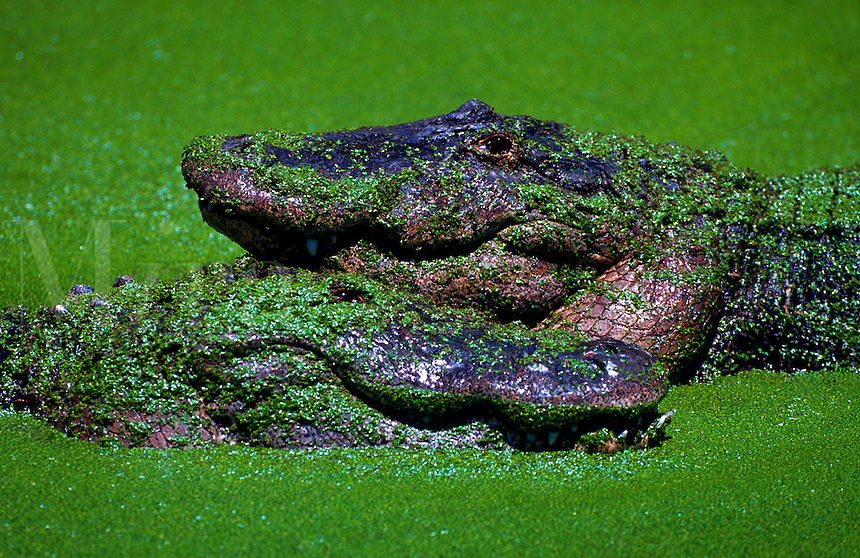 American Alligator in duckweed covered pond