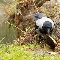 A crow - Corvus cornix - that is attacking a little turtle -probably an example of genus Trachemis -, by overcoming its protective shell, near one of the little lakes in villa Ada, in a winter morning. This is a slight enlargement of the original pic (Rome, 2020).<br /> <br /> Una cornacchia - Corvus cornix - che sta attaccando una tartarughina acquatica - probabilmante un esemplare del genere Trachemis, al di là del suo carapace protettivo, vicino uno dei laghetti di villa Ada, in una mattina d'inverno. Questo è un leggero ingrandimento della foto originale (Roma, 2020).