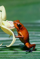 Endangered strawberry poison dart frog, Oophaga pumilio, standing on back legs and leaning against flower, Costa Rica