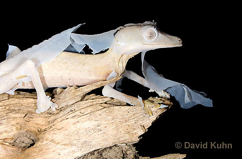 0104-0902  Lined Leaf-tailed Gecko Molting (Shedding Old Skin), Uroplatus lineatus © David Kuhn/Dwight Kuhn Photography