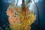Beautiful soft corals under the jetty<br /> @Sawandarek Jetty, Raja Ampat