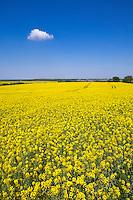 Oil seed rape in flower - Suffolk, May