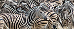 Etosha National Park, Namibia, Burchell's zebra (Equus quagga burchellii)