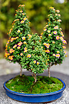Cute flowering Bonsai trees with colorful blossoms in a Japanese garden in Uji, Japan Image © MaximImages, License at https://www.maximimages.com