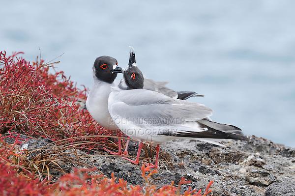 Swallow-tailed Gull (Creagrus furcatus), pair, Galapagos Islands, Ecuador, South America