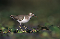 Spotted Sandpiper, Actitis macularia,adult on Waterhyacint, winter plumage, Lake Corpus Christi, Texas, USA