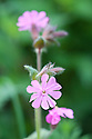 Red campion (Silene dioica), Devon hedgerow, late April.
