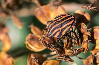Streifenwanze, Streifen-Wanze, Graphosoma lineatum, Italian Striped-Bug, Striped-Bug, Minstrel Bug, Baumwanzen, Pentatomidae, stink bugs