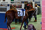 February 27, 2021 #2 Saffa's Day in the paddock for the Southwest Stakes (Grade III) horse race at Oaklawn Racing Casino Resort in Hot Springs,  Arkansas.  Ted McClenning/Eclipse Sportswire/CSM