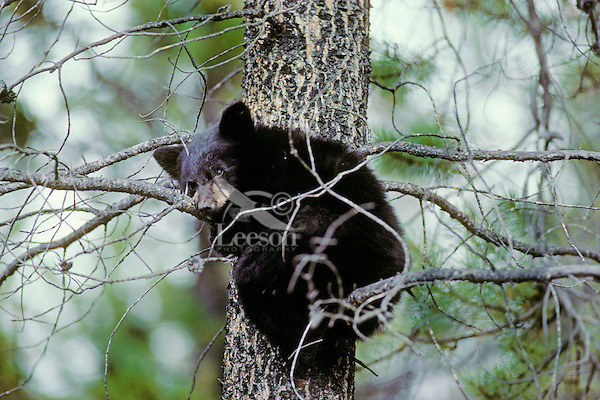 Black Bear cub rests in the safety of a pine tree.
