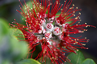 Close-up shot of a lehua blossom