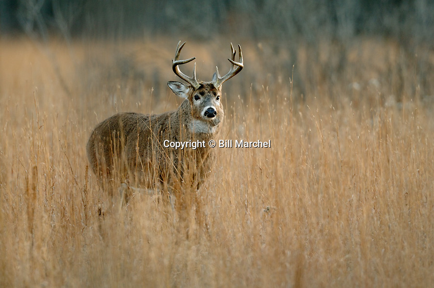 00274-305.06 White-tailed Deer Buck (DIGITAL) buck with a goiter like growth on its neck is in meadow during fall.  Hunt, Hunting.  H4R1