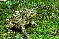 FR11-032a  American Toad - Anaxyrus americanus, formerly Bufo americanus