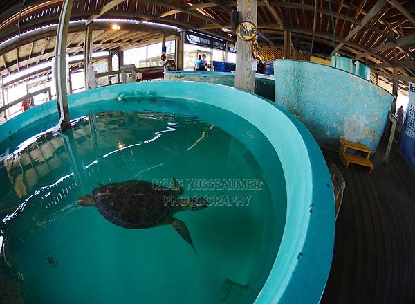 Kemp's ridley sea turtle(Lepidochelys kempii), Rescue and rehabilitation center, Sea Turtle, Inc., South Padre Island, Texas, USA