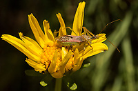 An assassin bug ([Zelus renardii]?) stands in an open flower of a giant coreopsis ([Coreopsis gigantea]).  The bug is covered in hundreds of pollen grains.