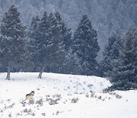 This was an incredible trip for wolves, including an encounter one morning with the Junction Butte Pack.