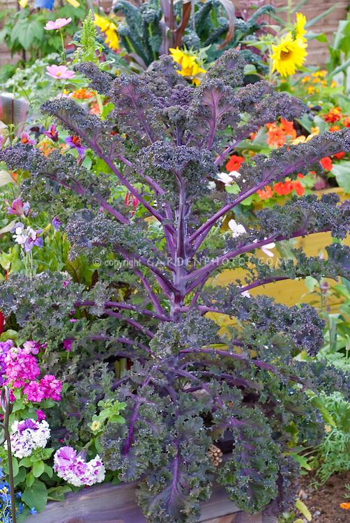 Brassica (kale) 'Redbor' patio