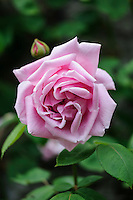 Rosa 'Madame Caroline Testout'