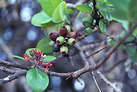 endangered Lanai sandalwood or iliahi (Santalum freycinetianum variety lanaiense)