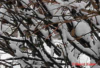 """1229-07rr  Camouflaged Black-capped Chickadee """"In Winter on Bush"""" - Parus atricapillus © David Kuhn"""