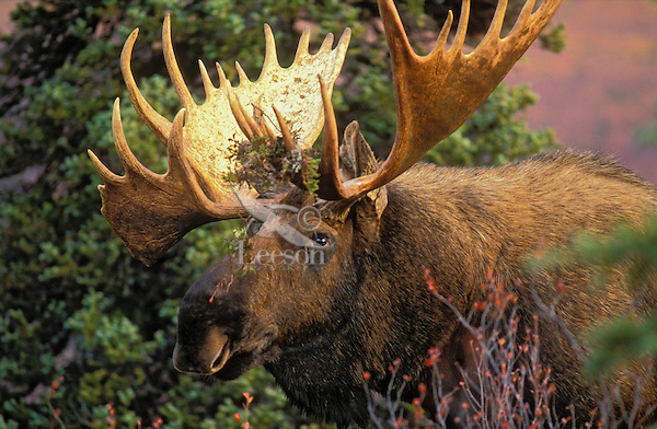 """BULL MOOSE (Alces alces) with lichen in antlers, perhaps gathered there while thrashing the brush or browsing. The name 'moose"""" is derived from the Algonkian name that means """"eater of twigs"""". Autumn. Denali National Park, Alaska. U.S.A."""
