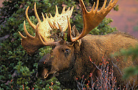 "BULL MOOSE (Alces alces) with lichen in antlers, perhaps gathered there while thrashing the brush or browsing. The name 'moose"" is derived from the Algonkian name that means ""eater of twigs"". Autumn. Denali National Park, Alaska. U.S.A."