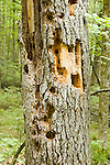 Eastern White Pine trunk, Pinus strobus, damaged by Pileated woodpeckers<br />