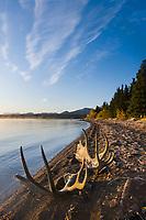 Moose antlers along the shore of Naknek lake, Katmai National Park, Alaska.