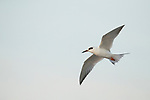 Forster's Tern (Sterna forsteri) flying, Amelia Island, Florida