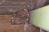 Zaunkönig, Zaun-König, Nest, Kugelnest, auf dem Balken einer Gartenlaube, Troglodytes troglodytes, Eurasian Wren, Wren, le Troglodyte mignon