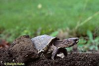 1R44-003x  Eastern Box Turtle - female laying eggs - Terrapene carolina