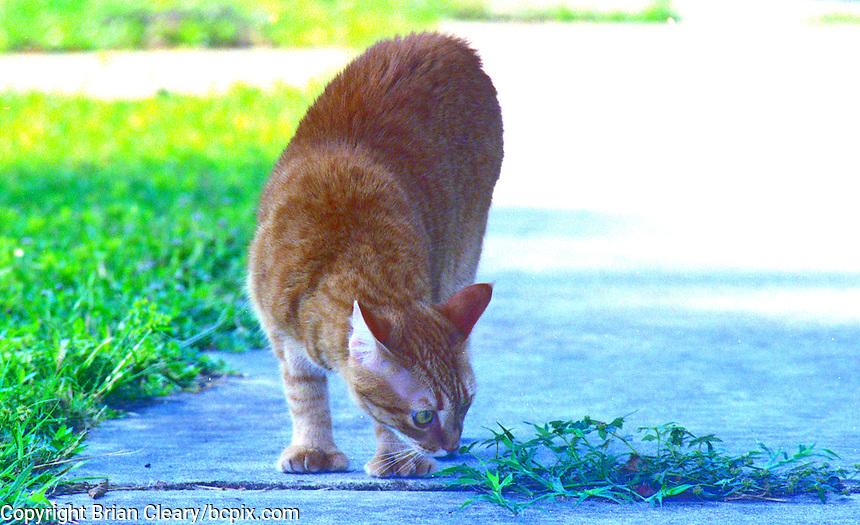 Ernie, a Red Mackeral Tabby cat in Daytona Beach, Florida. (Photo by Brian Cleary/www.bcpix.com)
