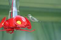 This delicate beauty is a regular at Ruth Willard's hummingbird feeder, situated right outside the kitchen window...