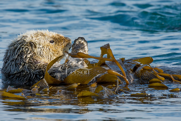 Sea Otter (Enhydra lutris) resting while wrapped in kelp. California coast.  Being wrapped in kelp helps keep the otter from drifting away with the tide/current/wind while resting.