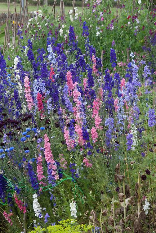 Lush flower cutting garden with half-hardy annuals larkspur delphinium in pink purple blue colours, bachelor buttons Centaurea cyanus,  sweetpeas climbing teepee Lathyrus odoraus, cosmos